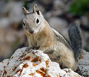 Golden-mantled Ground Squirrel (Spermophilus l...