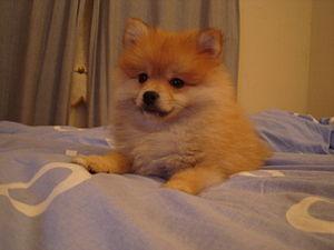 Sable Pomeranian