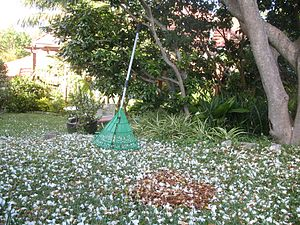A plastic leaf rake in a garden in Australia