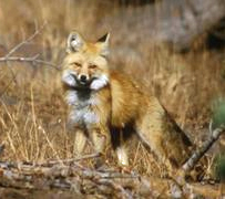 English: High Sierra Red Fox