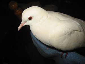 English: White Dove Bird